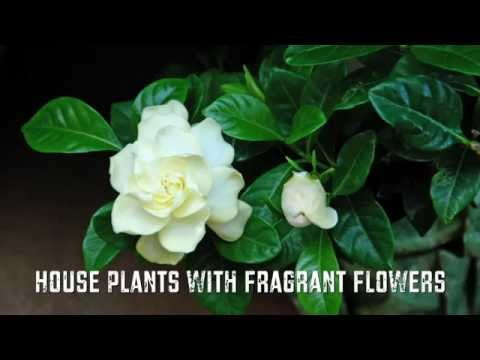 House Plants with Fragrant Flowers