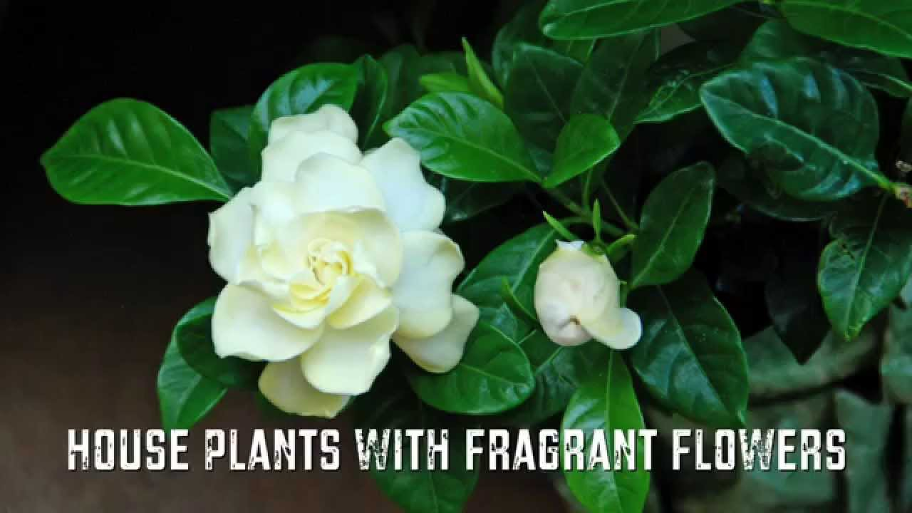 house plants with fragrant flowers youtube