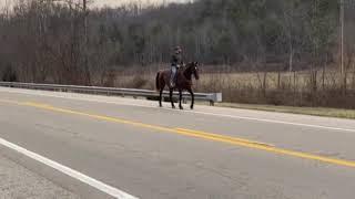 SOLDGrace. Well broke grade rocky mtn gaited trail horse for sale.