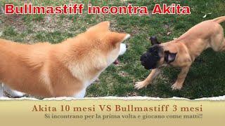 Akita VS Bullmastiff I° Round, ecco cosa succede!