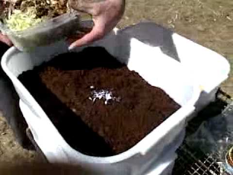Worm Farm Feeding ~ Red Wiggler's