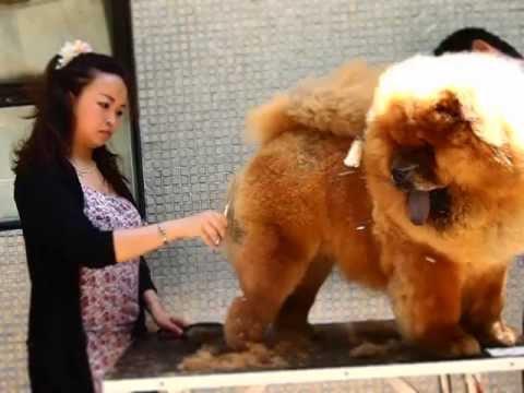 鬆獅犬美容 part 1  chow chow grooming part 1