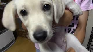 我が家に新しい仲間ラブラドールレトリバーの子犬が来ました。生後2カ月...