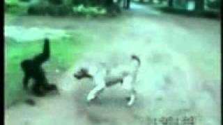 обезьяна и собака