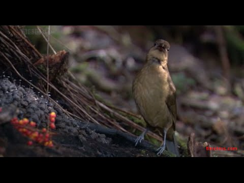 The Vogelkop Bowerbird life cycle