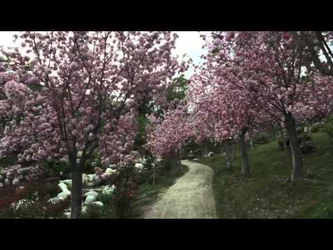 San Diego Japanese Friendship Garden Cherry Blossom Festival 2016