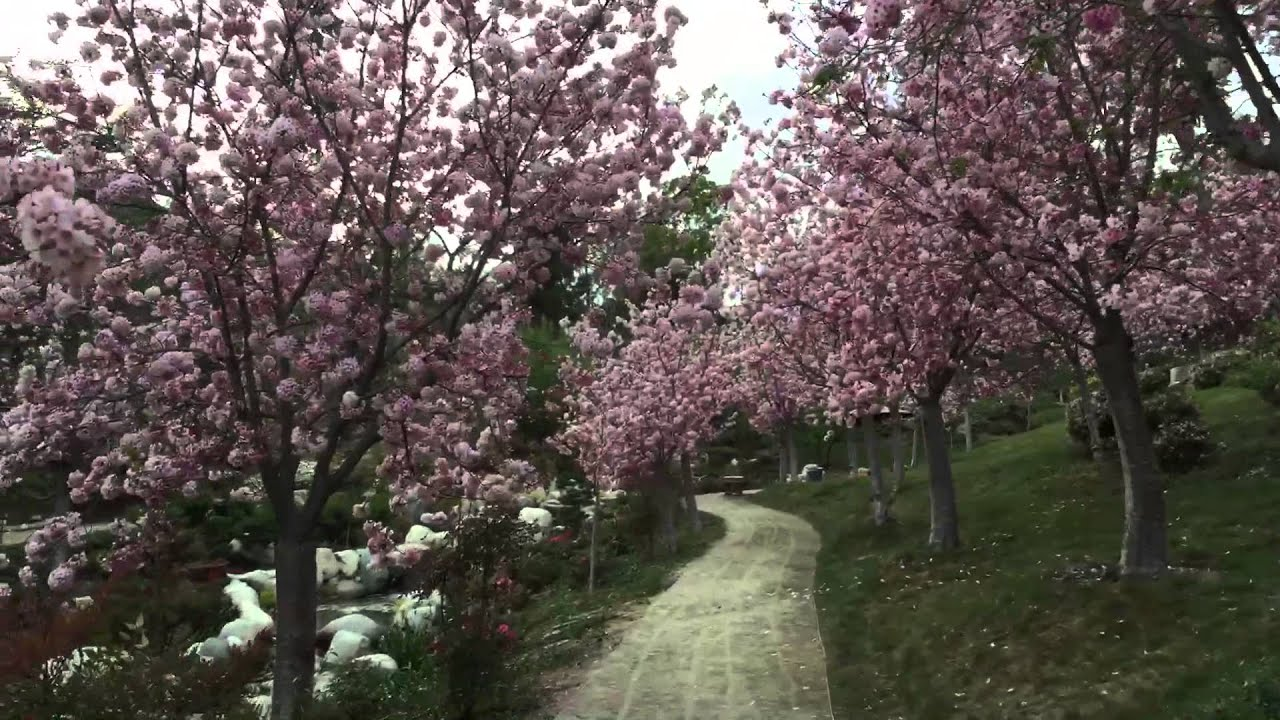 San Diego Japanese Friendship Garden Cherry Blossom Festival 2016 Youtube