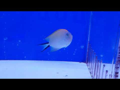 Swallowtail Angelfish - Marine Fish Profiles Database