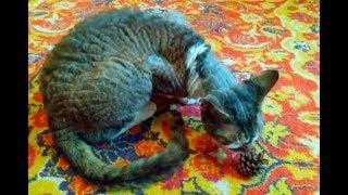 Кот с кудрявой шерстью