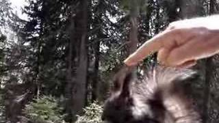 Eichhörnchenweg in Arosa, Squirrels feeding