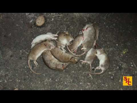 Pest Control with Air Rifles - Rat Shooting - Fatal Rattraction