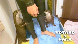 ウェットスーツ姿で登場したらカワウソに敵とみなされた Otters Regard Dad Wearing Wetsuit as an Enemy