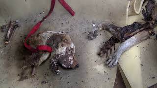 Tortured Homeless Dog is Investigated by Animal Cops Detroit - Hope For Dogs | My DoDo