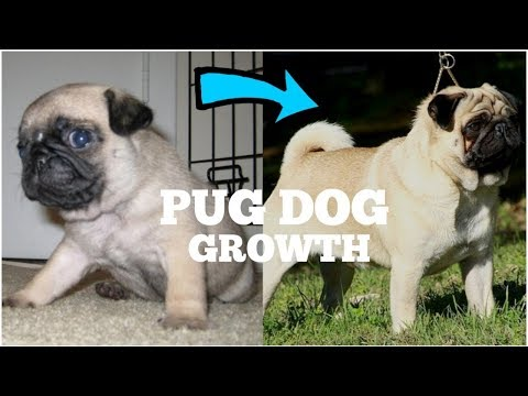 PUG PUPPY GROWING UP FROM 45 DAYS TO 1 YEARS | DOGGIES TRAINING