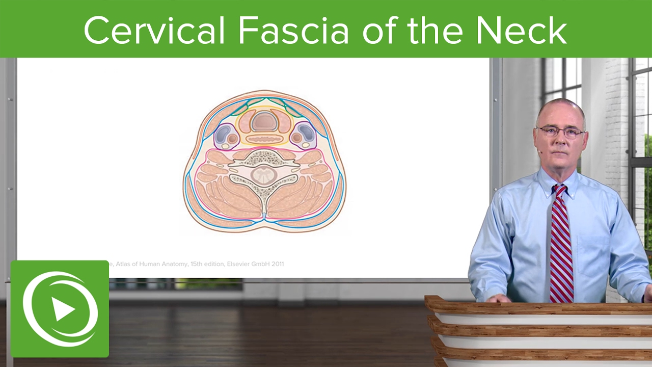 Neck: Cervical Compartments & Cervical Fascia – Brain & Nervous System | Lecturio