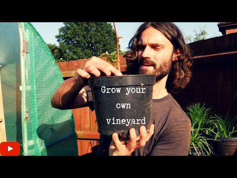 How to grow your own grapes at home! Dans allotment show!