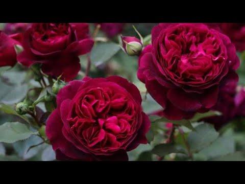 Удобрение для роз.Розы, всё о них! Аптечка для роз.