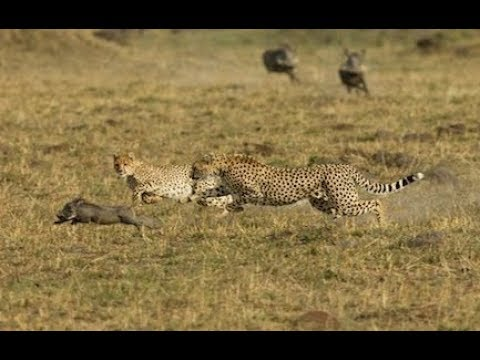 Cheetah Hunting Strategy - World Of Wildlife