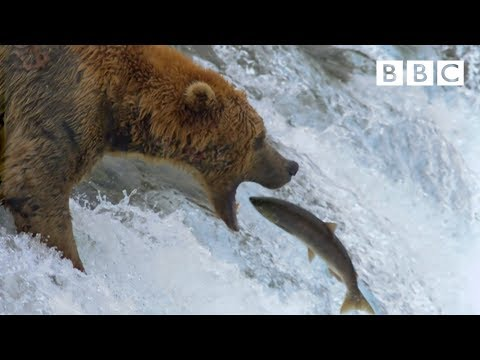grizzly-bear's-amazing-salmon-catching-techniques---bbc