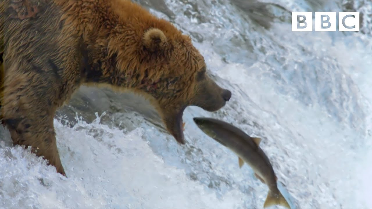 Grizzly bear's amazing salmon catching techniques - BBC