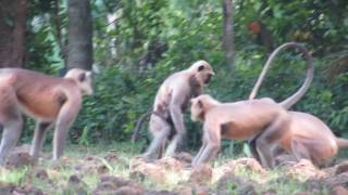 Langur Monkeys fighting with other groups