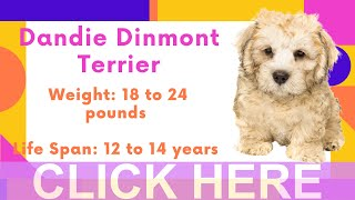 Dogs: Dandie Dinmont Terrier Breed Information And Personality