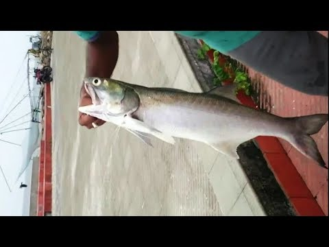 Indian Salmon Fishing Kaala Fish From Kerala Seashore