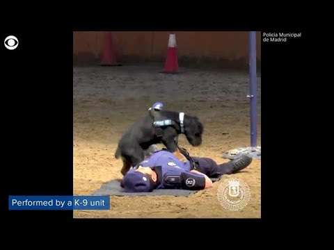 Chase Matthews - Watch:  Police Dog That Knows CPR