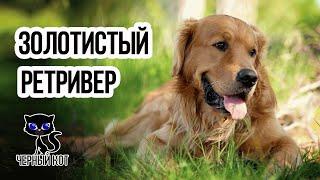 Золотистый ретривер (Голден) / Интересные факты о собаках