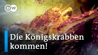 Norwegen: Invasion der Königskrabben | Fokus Europa