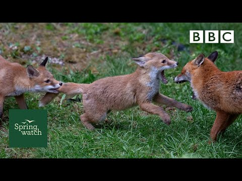 Our spring wildlife webcams live! 🐤🦊🐿 - Tue 2 June - Springwatch - BBC