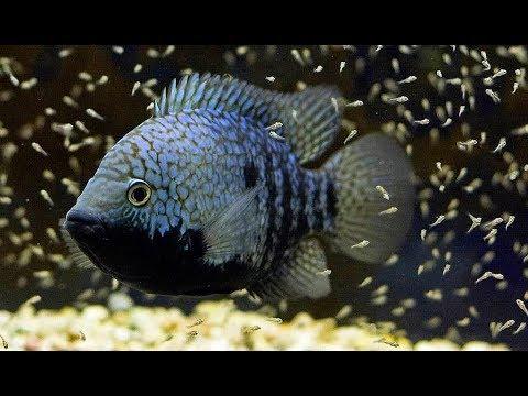 Do Cichlid Fish Eat Their Babies?