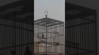 Burung Sanken/Sanger baru gacor untuk masteran.