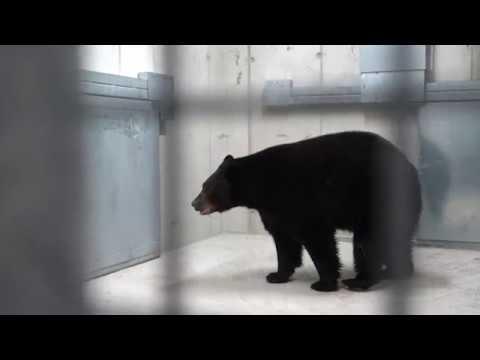Medvék érkeztek a Veszprémi Állatkertbe letöltés