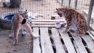 САМЫЙ ЗАБАВНЫЙ МОМЕНТ С РЫСЯМИ. Кот делает подарок кошке / A gift from a big cat