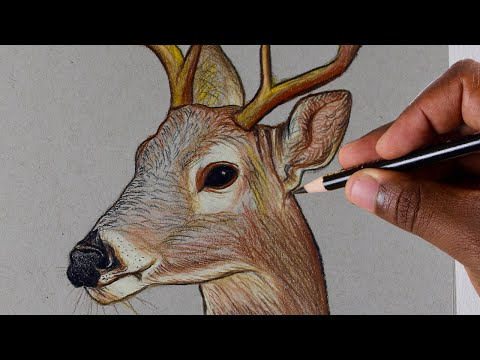 How To Draw A Deer - Colored Pencils