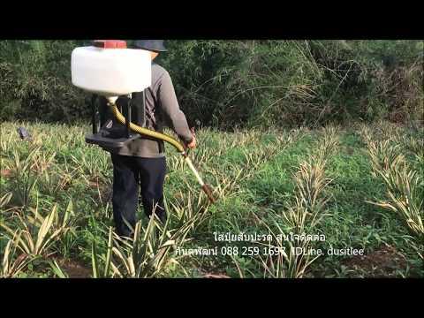 ใส่ปุ๋ยสับปะรด  รับตัวแทนขาย กันตพัฒน์ 088-259-1697 IDLine.dusitlee