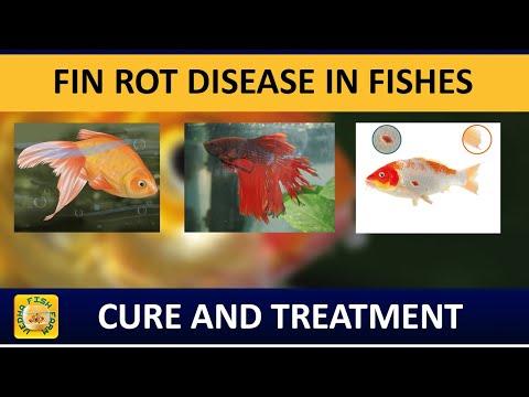 Fin Rot Disease In Aquarium Fishes