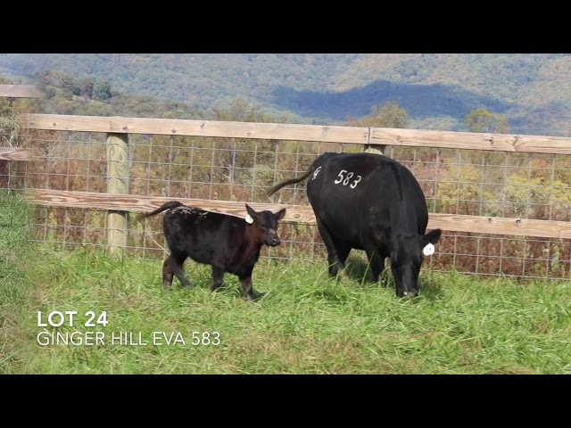 Ginger Hill Angus Lot 24
