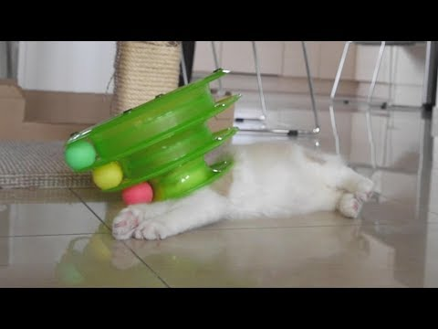Cute Ragdoll Kitten Binx playing with toy (he survived)