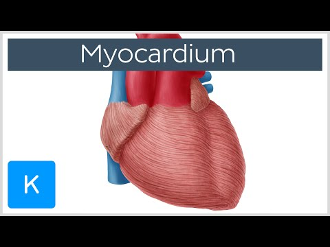 Myocardium - Definition, Function & Anatomy - Human Anatomy