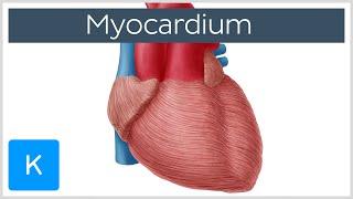 Myocardium - Definition, Function & Anatomy - Human Anatomy |Kenhub