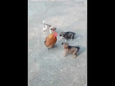 Chicken VS Dog Fight  -  Funny Dog Fight Videos
