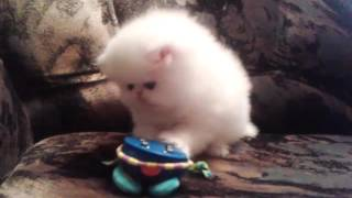 Персидский белый котенок (2 мес.)