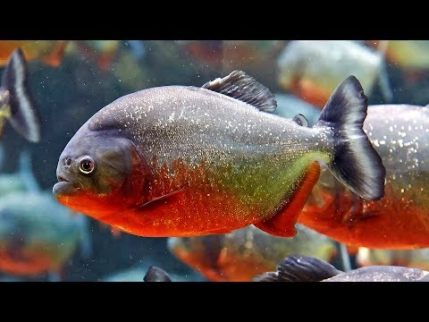 Everything About Piranha || [Caring-Breeding-Feeding-Types]