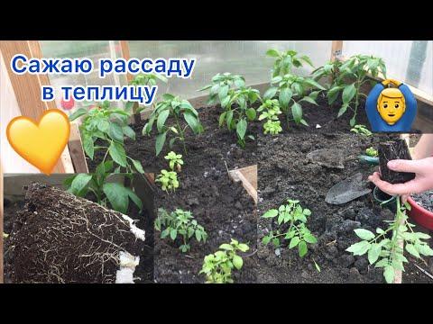 Сажаю рассаду в теплицу\\ Как правильно посадить рассаду перца и томатов в теплицу?!