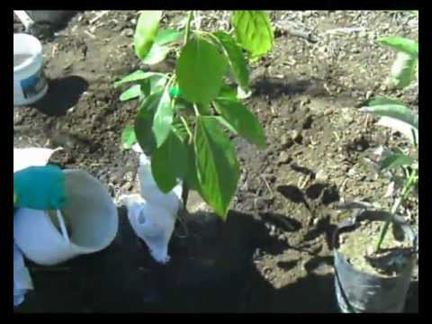 plantar aguacates hass - youtube