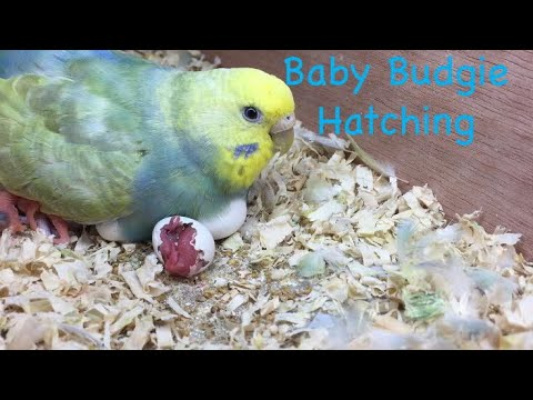 Ba Budgie Hatching