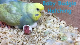 Baby Budgie Hatching