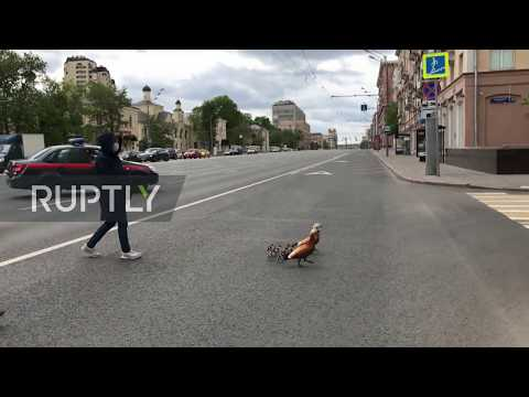 Muscovites And National Guard Stop Traffic To Help Duck Family Cross Road